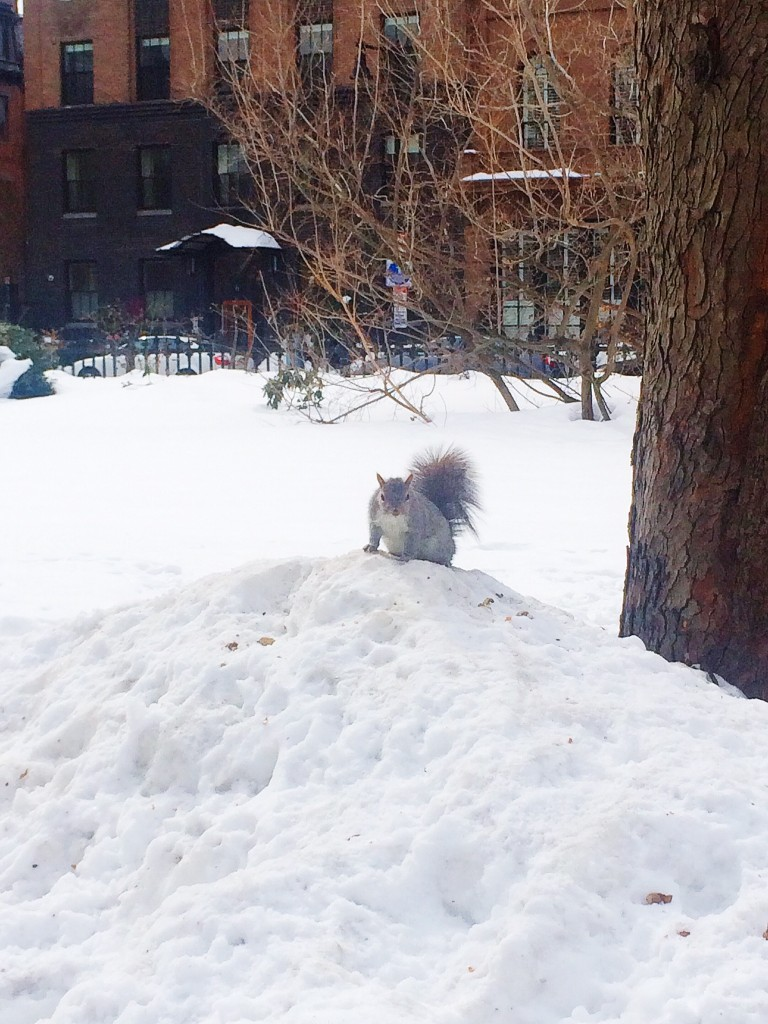 boston common squirrel